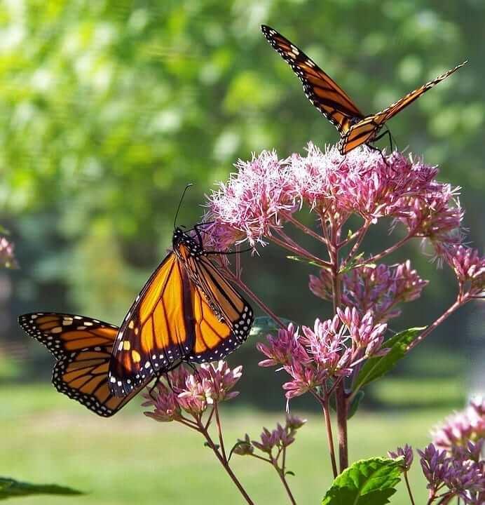 butterfly-18355_960_720